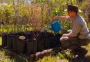 San Isidro reparte retoños del histórico algarrobo del Museo Pueyrredón para ser replantados